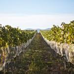 Hugov vinohrad v roku 2012