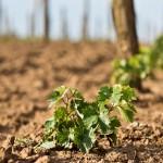 Napriek suchému letu vinohrad utešene rástol