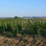 Vinohrad utešene rástol