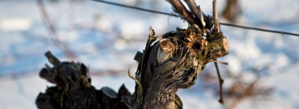 Ostrihaný vinič