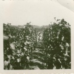 Forefathers vineyard planted in 1931