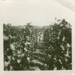 Pôvodný vinohrad vysadený v roku 1931