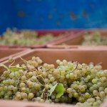Hand picking and sorting of the grapes in the vineyard allows us to continue to work with the grapes to our liking