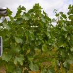 Current weather data are needed for timely treatment and prevention of vine diseases