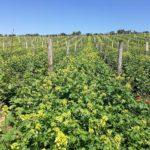 Francuzsky vinohrad s horcicou