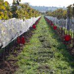 Vinohrad pripraveny na zber